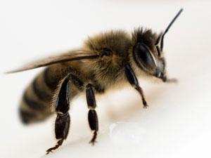 langage abeille