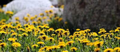 Plantes drainantes detoxifiantes - le pissenlit