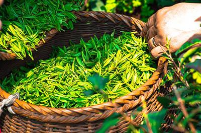 Plantes compléments alimentaires