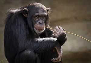 Le chimpanzé Sida HIV