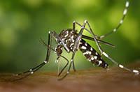 Le moustique responsable de la dengue