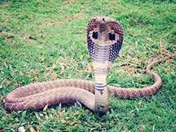 Serpent cobra responsable du coronavirus covid-17 ?